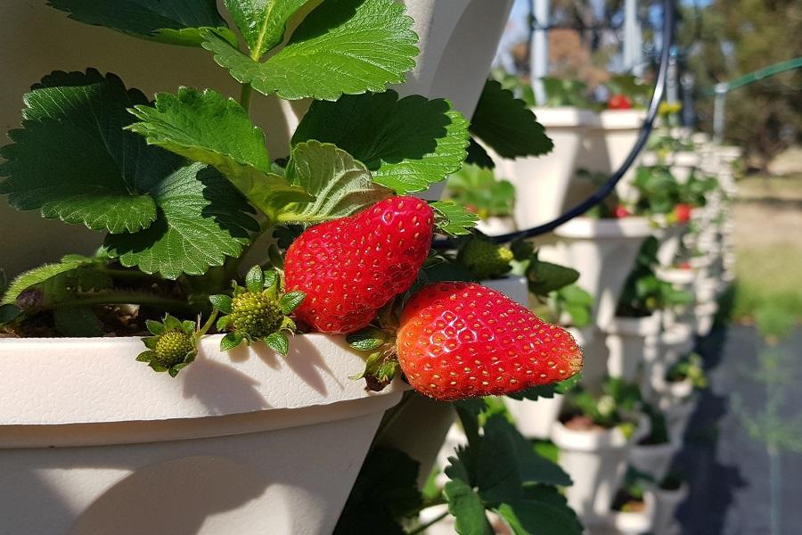 Van Wyk strawberries